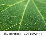 detailed macro leaf vein...   Shutterstock . vector #1071692444