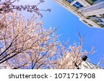 view of the cherry blossoms in... | Shutterstock . vector #1071717908