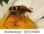 Beetle Mimicking A Bumblebee ...