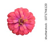 red zinnia flower isolated on... | Shutterstock . vector #1071746120