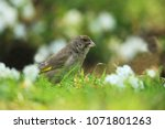 greenfinch in flowers | Shutterstock . vector #1071801263