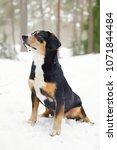 entlebucher mountain dog... | Shutterstock . vector #1071844484