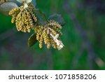 flower of the oak. the holm oak ... | Shutterstock . vector #1071858206