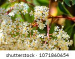 bee works for hive collecting... | Shutterstock . vector #1071860654