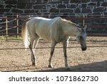 horse  equus ferus caballus ... | Shutterstock . vector #1071862730