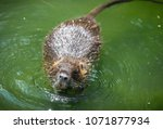 adult beaver eating a plant.... | Shutterstock . vector #1071877934