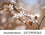 flowering cherry in the sun ... | Shutterstock . vector #1071909263