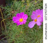dainty soft pale  pink flowers... | Shutterstock . vector #1071937634