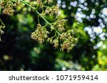 spring blooming lychee   nectar ... | Shutterstock . vector #1071959414
