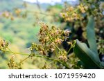 spring blooming lychee   nectar ... | Shutterstock . vector #1071959420