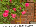 pretty hot pink climbing rose ... | Shutterstock . vector #1071966170