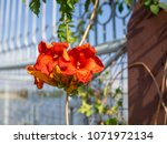 Small photo of red malvales flowers