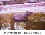 capybara in thai  thailand.   Shutterstock . vector #1071975578