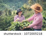 farmer coffee is harvesting... | Shutterstock . vector #1072005218