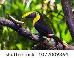tucan yellow chest  bird of... | Shutterstock . vector #1072009364