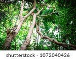 large and long vine are... | Shutterstock . vector #1072040426