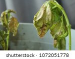 Small photo of Verticillium Wilt infection wilting and killing young basil plant seedlings