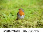 the european robin  known... | Shutterstock . vector #1072123949