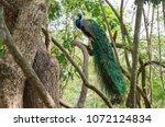peafowl india or pavo cristatus ... | Shutterstock . vector #1072124834