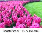 curvy hyacinth flower bed ...   Shutterstock . vector #1072158503