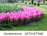 hyacinth flower bed in spring... | Shutterstock . vector #1072197560