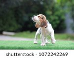Stock photo a cute tri color beagle stand on the green grass and looking away to left side it running in the 1072242269