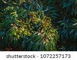 unripe green fruit lychee ... | Shutterstock . vector #1072257173