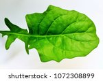 gerbera is a flowering plant... | Shutterstock . vector #1072308899