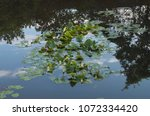 lilly pads float on a lake in a ... | Shutterstock . vector #1072334420