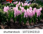 pink blooming hyacinths on a...   Shutterstock . vector #1072342313