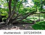 a massive  multi trunk tree... | Shutterstock . vector #1072345454
