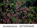 pink cherry blossom tree on... | Shutterstock . vector #1072354640