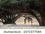 giraffe under the tree  wild    ...   Shutterstock . vector #1072377584