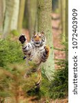the siberian tiger  panthera... | Shutterstock . vector #1072403909