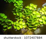 aquatic plant floating on the...   Shutterstock . vector #1072407884
