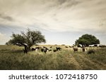 steers fed on pasture  la pampa ... | Shutterstock . vector #1072418750