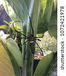 Small photo of Spotted Golden Web Spider,Nephila Maculata, Gaint Long-jawed Orb-weaver