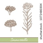 immortelle in hand drawn style. ...   Shutterstock .eps vector #1072480304