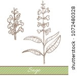 sage in hand drawn style....   Shutterstock .eps vector #1072480328