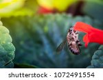 a bee collecting nectar from... | Shutterstock . vector #1072491554