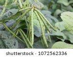 Mung Bean Pods  Crop Planting...