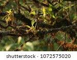 Small photo of Parmeliaceae orPowder-headed Tube Lichen, Tube Lichen