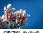 Beautiful Magnolia Flowers On A ...