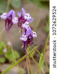 Small photo of Close up view of the beautiful Linaria algarviana flower.