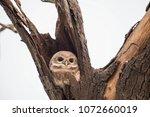beautiful indian owl | Shutterstock . vector #1072660019