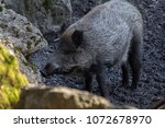 wild hog in the wild   | Shutterstock . vector #1072678970