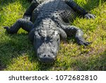 Massive Alligator Napping With...