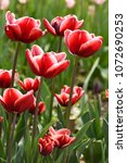 beautiful red tulips | Shutterstock . vector #1072690253