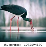 beautiful black stork fishing... | Shutterstock . vector #1072694870