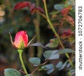 Pink Rosebud In Garden   Close...